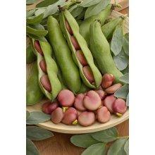 Vegetable  Broad Bean - Karmazyn - 25 Seeds