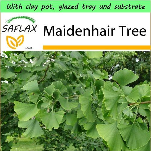 SAFLAX Garden to Go - Maidenhair Tree - Ginkgo - 4 seeds