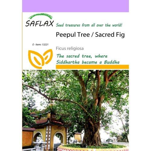 Saflax  - Peepul Tree / Sacred Fig - Ficus Religiosa - 100 Seeds