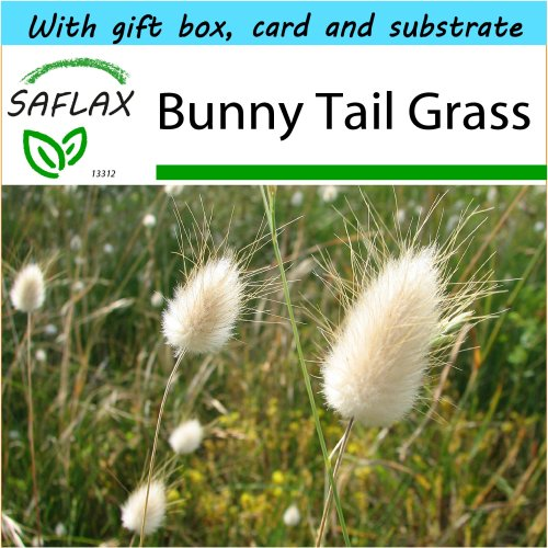 SAFLAX Gift Set - Bunny Tail Grass - Lagurus ovatus - 100 seeds - With gift box, card, label and potting substrate
