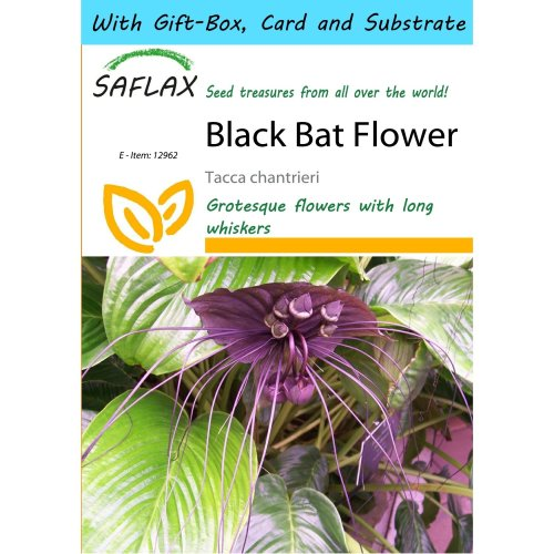Saflax Gift Set - Black Bat Flower - Tacca Chantrieri - 10 Seeds - with Gift Box, Card, Label and Potting Substrate