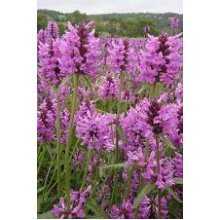 Wild Flower - Betony - Stachys Officinalis - 400 Seeds
