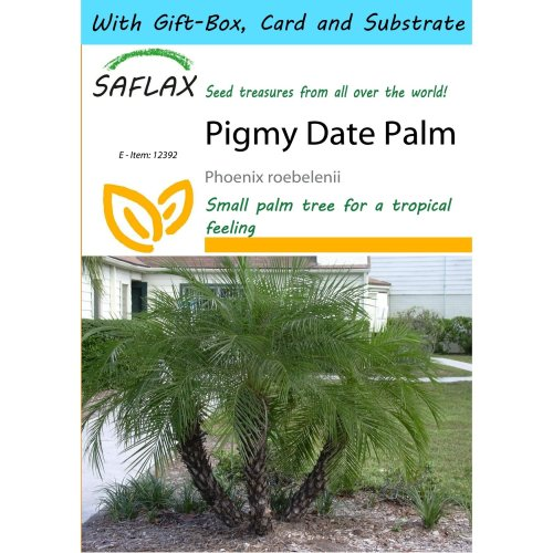 Saflax Gift Set - Pigmy Date Palm - Phoenix Roebelenii - 25 Seeds - with Gift Box, Card, Label and Potting Substrate