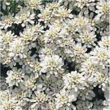 Flower - Candytuft - Iberis Sempervirens - Snowflake - 25 Seeds