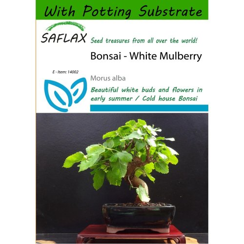 Saflax Bonsai White Mulberry Morus Alba 200 Seeds With Potting Substrate For Better Cultivation