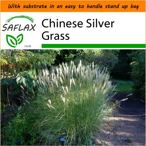 SAFLAX Garden in the Bag - Chinese Silver Grass - Miscanthus sinensis - 200 seeds - With substrate in a fitting stand up bag.