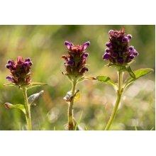 Wild Flower - Self Heal - Prunella Vulgaris - 1000 Seeds