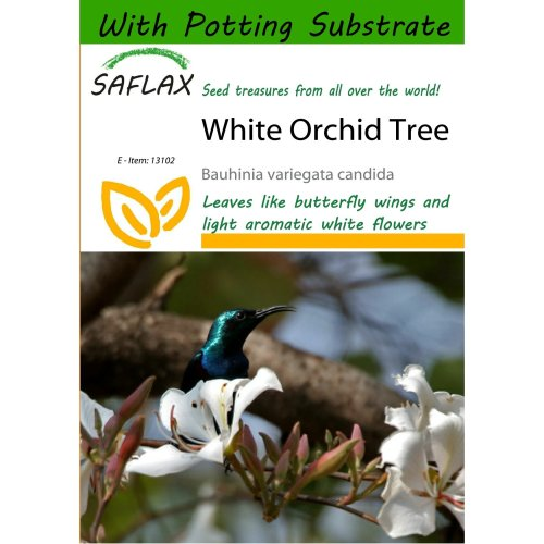 Saflax  - White Orchid Tree - Bauhinia Variegata Candida - 5 Seeds - with Potting Substrate for Better Cultivation