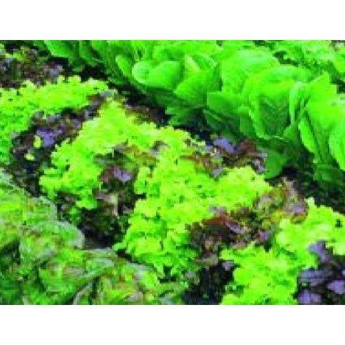 Vegetable - Lettuce - Mixed Baby Leaf Salad - 1000 Seeds