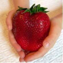 100Pcs Giant Red Strawberry Seeds Rarest Heirloom Super Giant Japan Strawber Seeds Garden