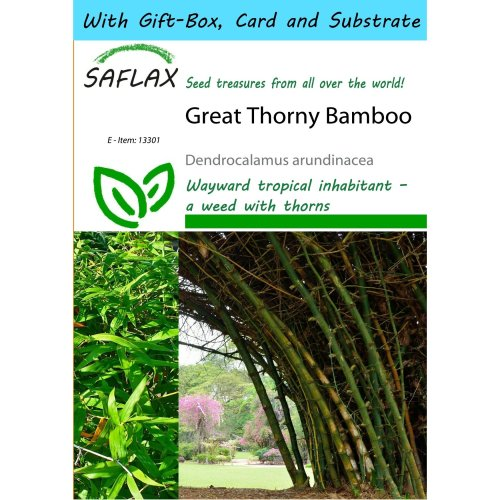 Saflax Gift Set - Great Thorny Bamboo - Dendrocalamus Arundinacea - 50 Seeds - with Gift Box, Card, Label and Potting Substrate